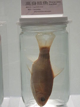 Specimen of Onychostoma alticorpus.JPG
