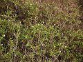 Spermacoce verticillata L. (16202922562).jpg