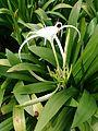Spider Lily (Hymenocallis speciosa) 3.jpg