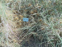 Spinifex longifolius in the Grant Marine Park in Cottesloe, Western Australia..JPG