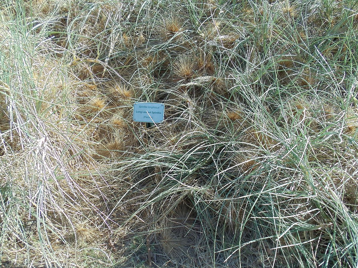Spinifex grass asexual reproduction examples