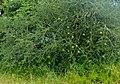 Spiny Monkey-orange (Strychnos spinosa) (12696385815).jpg
