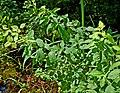 Spiraea alba var. latifolia (14766654491).jpg