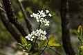 Spiraea prunifolia var. simpliciflora 2014년 4월 9일 (13768093393).jpg