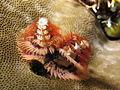 Spirobranchus giganteus at Gili Lawa Laut.JPG