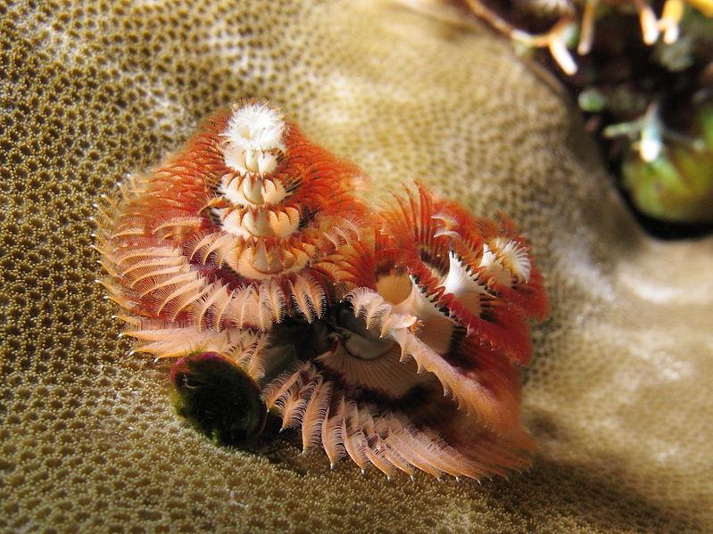 File:Spirobranchus giganteus at Gili Lawa Laut.JPG