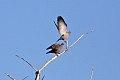 Spot-winged Pigeon (Patagioenas maculosa) (8077552700).jpg