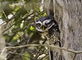 Spotted Owlet (106032393).jpg