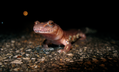 Spring Salamander (Gyrinophilus porphyriticus) (5725425236).png
