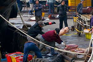 Fishing industry of South Korea - Squid fishermen, Busan, December 2009.