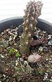 Stapelianthus decaryi.jpg