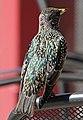 Starling (15591465801).jpg