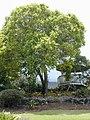Starr-010419-0038-Cinnamomum camphora-habit-Kula-Maui (24532205925).jpg