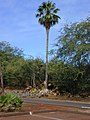 Starr-010914-0062-Washingtonia robusta-tall tree and seedlings-Lahaina-Maui (24515982256).jpg