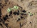 Starr-020111-0004-Ipomoea imperati-just planted-Kanaha Beach-Maui (24177820609).jpg