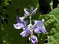 Starr-021012-0065-Pueraria montana var lobata-flowers-Wailua-Maui (23924785754).jpg