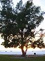 Starr-031108-0319-Casuarina equisetifolia-sunset habit-Siesta Key Beach-Florida (24648604976).jpg