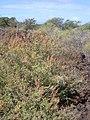 Starr-040526-0025-Amaranthus hybridus-habit-Puu o Kali-Maui (24593500592).jpg