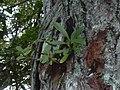 Starr-041018-0031-Clusia rosea-germinating on Eucalyptus-Haiku-Maui (24718052505).jpg