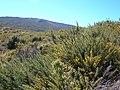 Starr-041211-1436-Ulex europaeus-habit-Puu Nianiau-Maui (24425655710).jpg