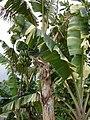 Starr-050407-6296-Musa x paradisiaca-Maoli Maia Manini Koae variegated habit and bunch-Maui Nui Botanical Garden-Maui (24718862836).jpg
