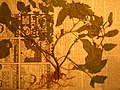 Starr-050427-0662-Solanum americanum-voucher 050405 19-Alau-Maui (24629363962).jpg