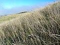 Starr-051122-5262-Anthoxanthum odoratum-habit-Haleakala Ranch-Maui (24481801389).jpg