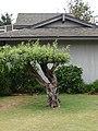 Starr-090421-6271-Olea europaea subsp cuspidata-bonsai-Pukalani-Maui (24656889010).jpg