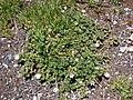 Starr-090504-7252-Malva neglecta-flowering habit-Science City-Maui (24586577929).jpg