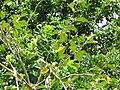Starr-090609-0385-Solanum torvum-leaves-Haiku-Maui (24336454113).jpg