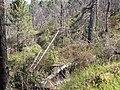 Starr-100303-3184-Rubus niveus-rebounding under burnt trees-Polipoli-Maui (24380715404).jpg