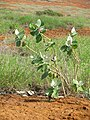 Starr-101229-6188-Calotropis procera-flowering and fruiting habit-Kanapou-Kahoolawe (24764100480).jpg
