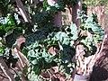 Starr-110209-0753-Polyscias guilfoylei-leaves-Resort Management Group Nursery Kihei-Maui (24443889374).jpg
