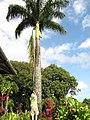 Starr-110330-3677-Roystonea regia-habit and tree trimmer-Garden of Eden Keanae-Maui (24785011260).jpg