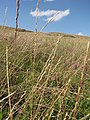 Starr-110531-5937-Lolium perenne-seeding habit-Kula-Maui (24728636519).jpg