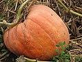 Starr-111004-0578-Cucurbita pepo-pumpkin on vine-Kula Country Farms-Maui (24491543973).jpg