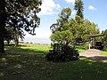 Starr-120510-5678-Eucalyptus camaldulensis-habit in yard-Ka Hale Olinda-Maui (24774715489).jpg