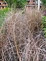 Starr-120613-9610-Carex buchananii-potted plants-Home Depot Nursery Kahului-Maui (24514792154).jpg