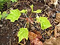 Starr-120620-7536-Jatropha curcas-seedling in duff-Kula Agriculture Park-Maui (25119511766).jpg