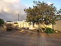 Starr-121219-1207-Hibiscus tiliaceus-habit-Base Camp Honokanaia-Kahoolawe (25105293081).jpg