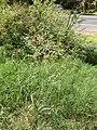 Starr-141025-2484-Panicum antidotale-habit-Kawela Bridge-Molokai (24621005133).jpg