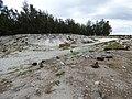 Starr-150331-0805-Coronopus didymus-Laysan Albatrosses-Dump Sand Island-Midway Atoll (24644715973).jpg