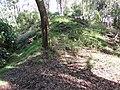 Starr-161219-6357-Eucalyptus sideroxylon-ridge and trails-Hawea Pl Olinda-Maui (32464039315).jpg