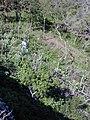 Starr 020112-0008 Hibiscus brackenridgei subsp. brackenridgei.jpg