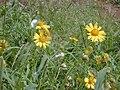 Starr 020120-0027 Verbesina encelioides.jpg