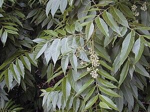 Toona - Toona ciliata (Type species)