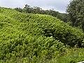 Starr 030807-0020 Phyllostachys nigra.jpg