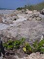 Starr 031108-0264 Ipomoea pes-caprae subsp. brasiliensis.jpg