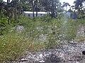 Starr 031108-2038 Leucaena leucocephala.jpg