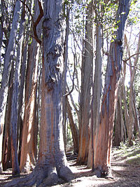 Starr 031214-0054 Eucalyptus obliqua